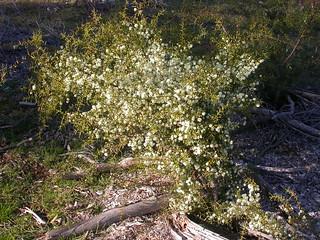 The Fair 28.06.2014 Acacia genistifolia planted in 2012 flowering DSCN1082