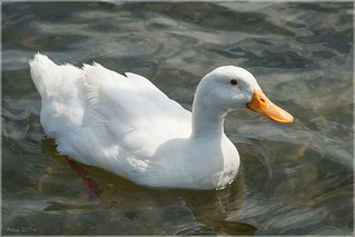 White Duck | by Little Alicia
