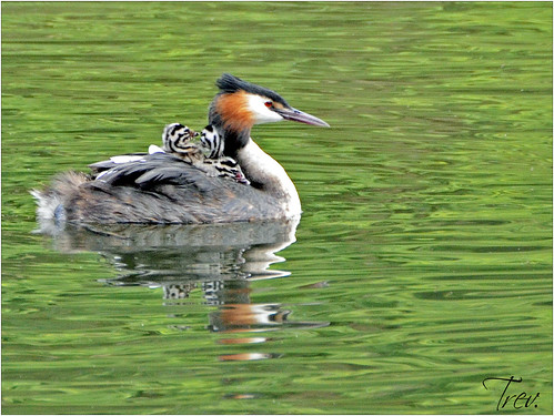 Great Crested Grebe Babies with Parent | by Trev Grant