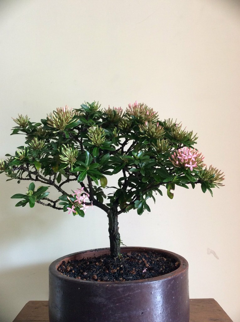 Ixora miniature pink ( Chethi )  four years training blooming stage.Umbrella shape. -