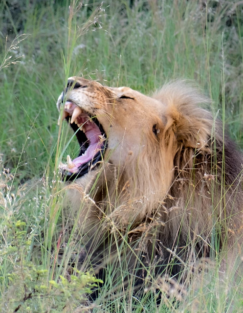 Male lion from Entabeni, South Africa