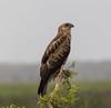 Whistling Kite (Haliastur sphenurus).03 by Geoff Whalan