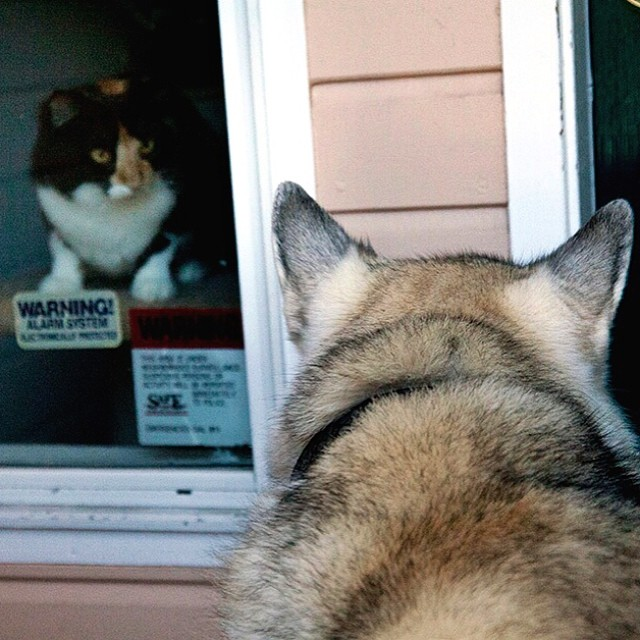 Cody and the neighbor's cat, Mellow. (August 1, 2009, San Francisco, CA) #cats #dogs #huskymalamutes