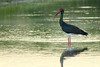 Cegonha-negra (ciconia nigra) black-stork by jaygum_photo