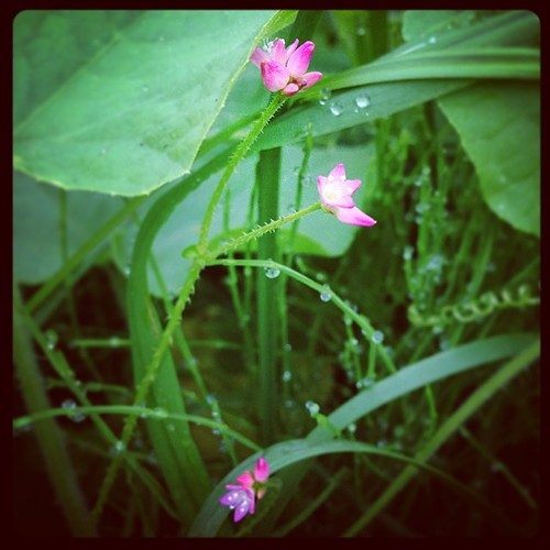 この金平糖の様な花って、子供の頃からてっきりカナムグラの花かと思い込んでいたけど、ググってみたらカナムグラの花は緑色だと云う。帰りに確かめてみよう…。 | by Atsushi Boulder