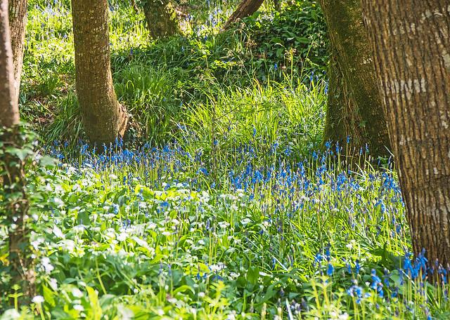 Blue Bells West Alvington Woods