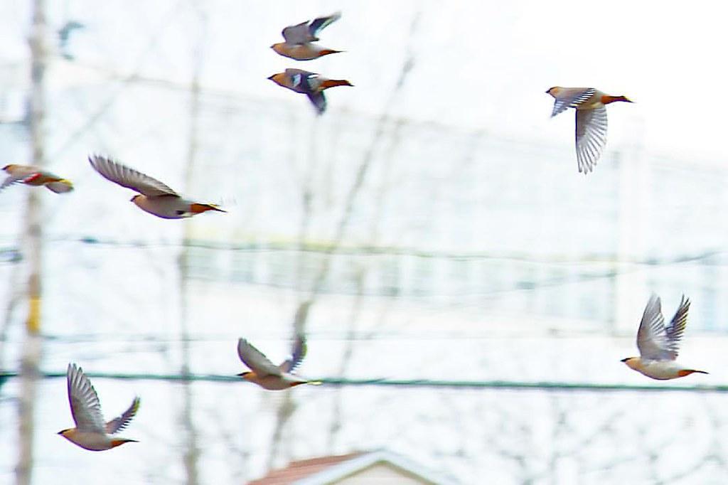 A #flock of Cedar Waxwings #flying through the #street loo