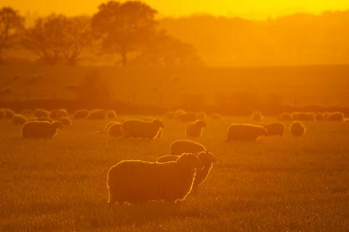 sunset orange back glow shropshire sheep hill lit lyth