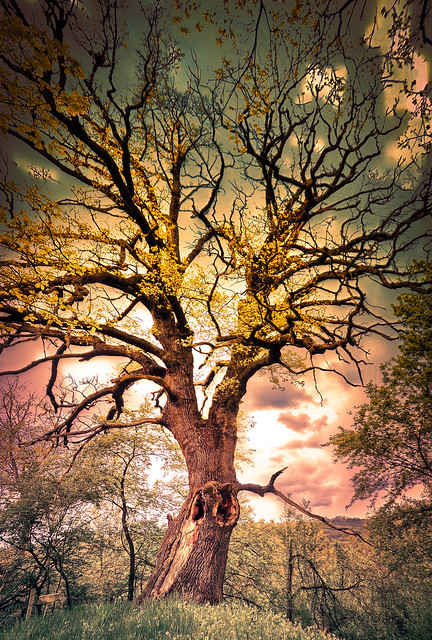 Oak old over 600 years