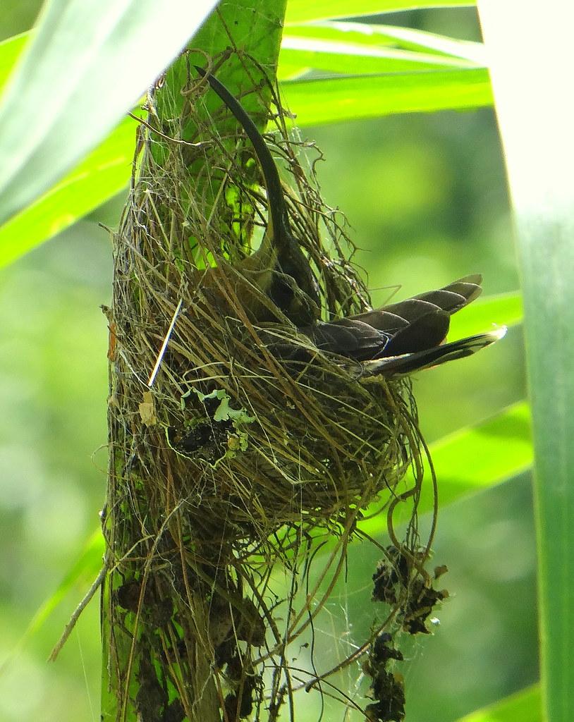 Ermitaño pecho canela [Rufous-breasted Hermit] (Glaucis hirsutus affinis) (♀ anidando [nesting ♀])