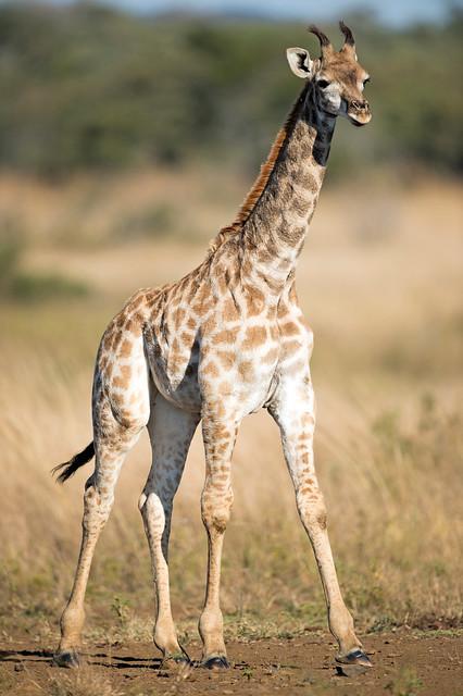 Giraffe, Giraffa camelopardalis, Kyle National Park, Zimbabwe