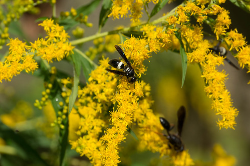 08860 Wasps on Giant Goldenrod | by rockerBOO