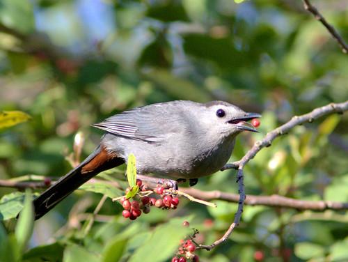 Gray Catbird 2-20170321