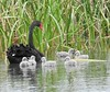 Black Swan and Cygnets - taking the family for a promenade by Free_aza_Bird