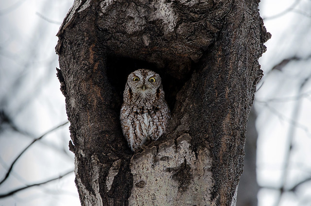 Petit-Duc maculé /  Eastern Screetch owls