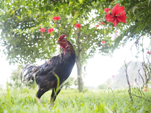 © Rooster Chicken Indonesia West Sumatra Harau Valley Southeast-Asia Sumatera Barat - Hahn Indonesien Südost-Asien West-Sumatra