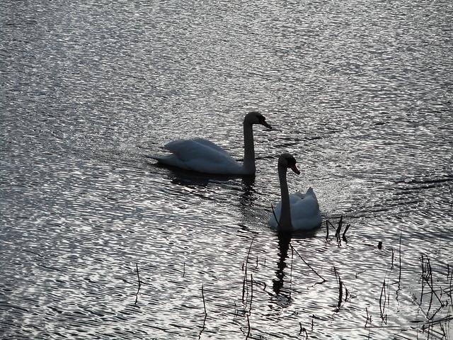 Swans (06)