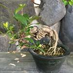 くちなし Common gardenia