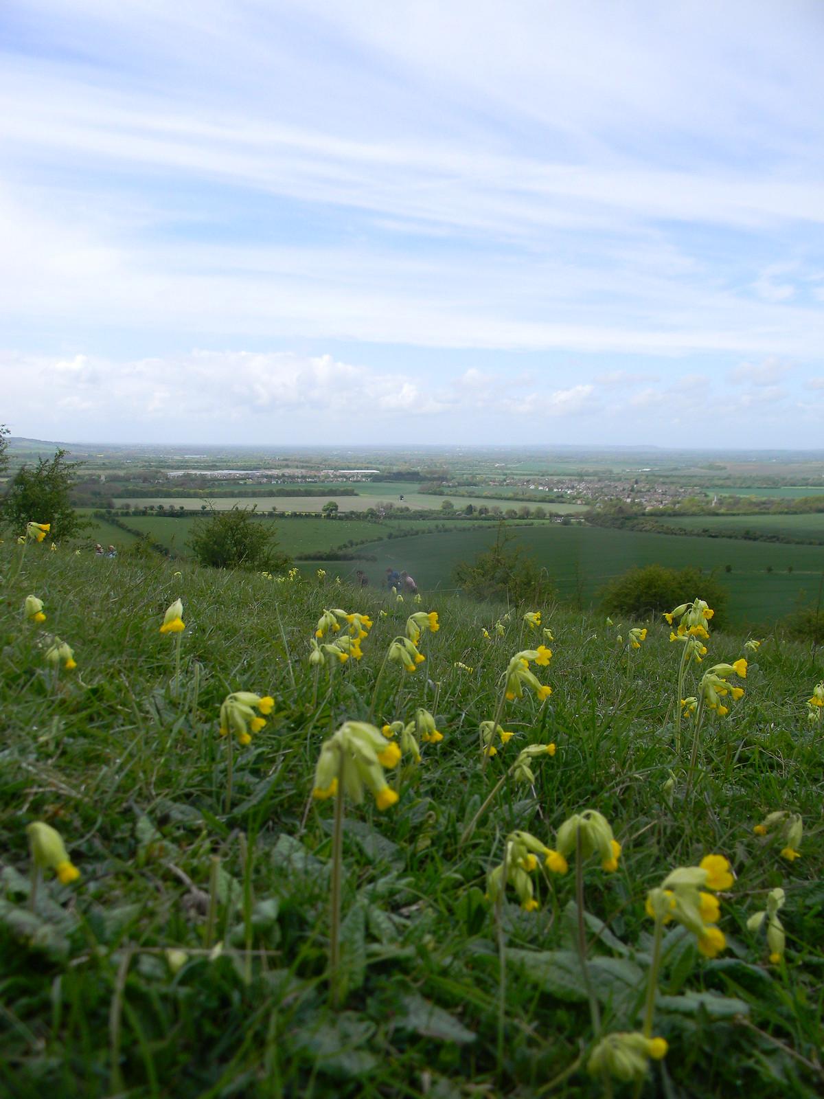 Cowslips on Ridgeway Tring to Berkhamsted
