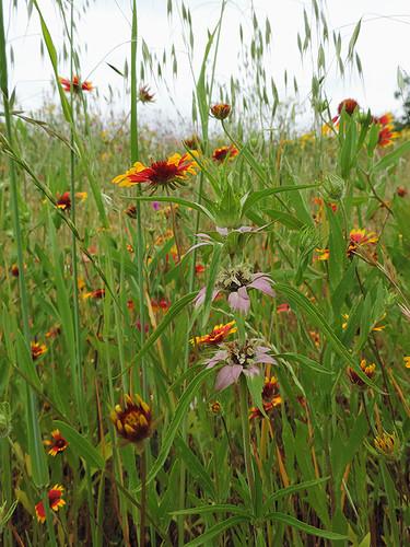 flowers wildflowers belmont belmonttx texas usa dnysmphotography dnysmsmugmugcom