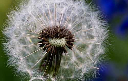 Dandelion Seeds | by karl101