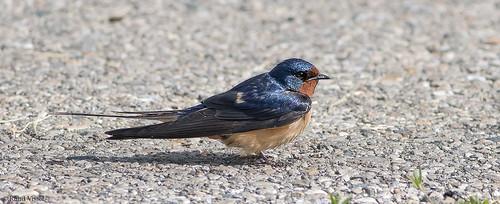 Barn Swallow | by RuudVisser