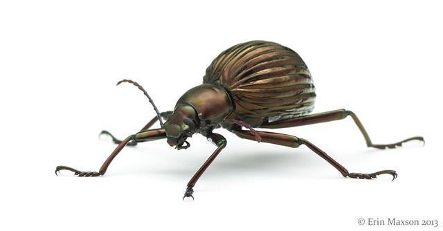 Belize darkling beetle