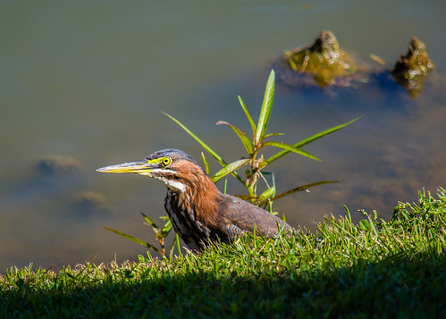 lake green heron rouge camden lakes baton