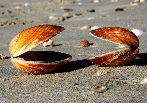 shells cockles beach seashore sonydslra580 publicdomaindedicationcc0 freephotos cco