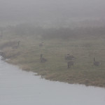 Geese in the thick fog