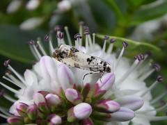 Eucosma campoliliana