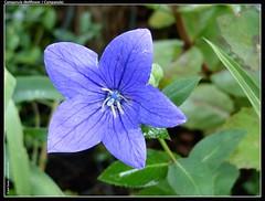 Campanula (Bellflower - Campanule)