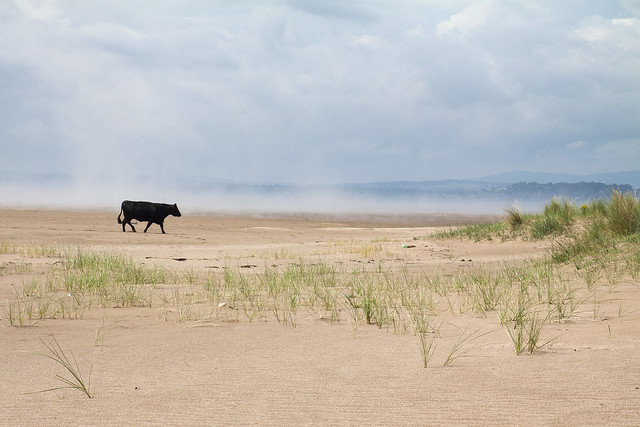 Black cow and haar
