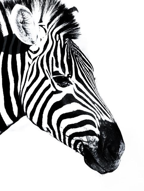 Zebra silhuet