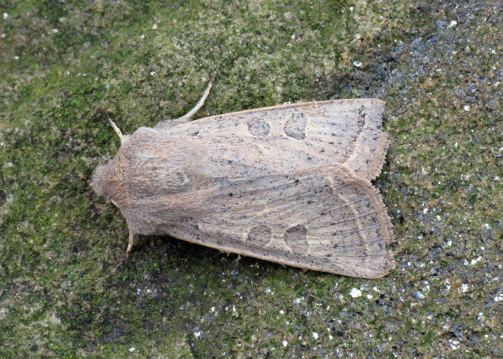 2186 Powdered Quaker - Orthosia gracilis