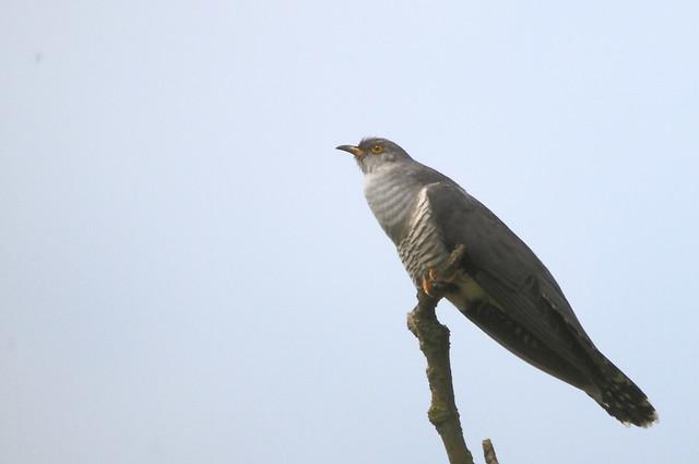 Male Common Cuckoo (Cuculus canorus)