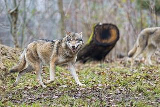 Wolf in the forest | by Tambako the Jaguar