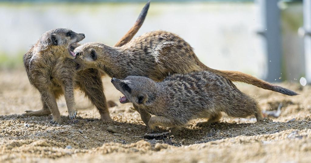 Fighting meerkats II