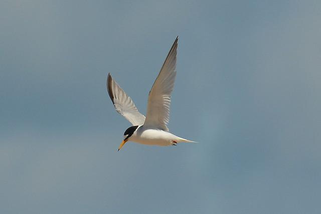 Little Tern ... Watching Its Nest