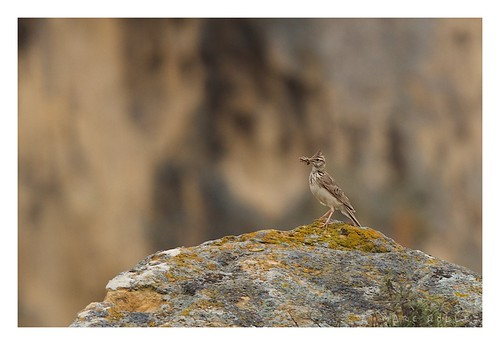Galerida cristata - Crested Lark | by Marc Nollet