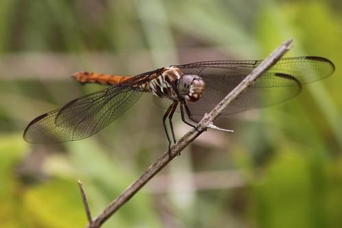 insect dragonfly polkcountyflorida lakelandhighlandsscrub