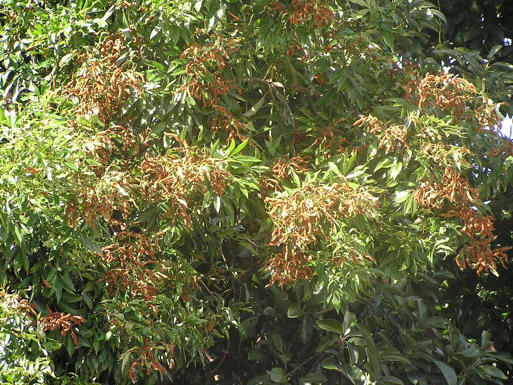 Erinose mites (Aceria litchii) injury to lychee (Litchi si