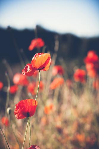 red flower nature colors field canon 50mm dof bokeh poppy