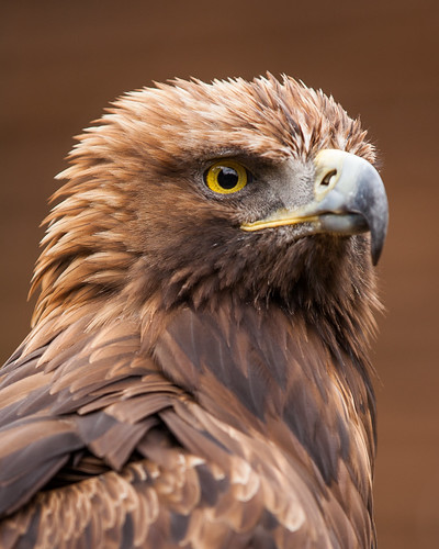 Golden Eagle | by AndyStraw