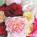 Bright garden roses 8 x 10