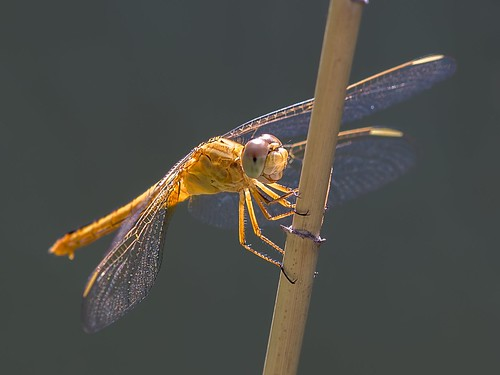 golden dragonfly | by piggsyface