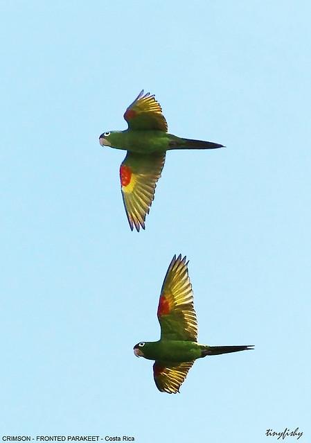 (514) Crimson-Fronted Parakeet - [ Monte Verde, Costa Rica ]