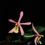 Phalaenopsis mannii Black x schilleriana