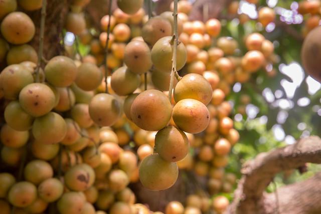 Burmese Grapes ( Lotkon )