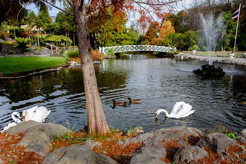 bridge autumn trees newzealand christchurch sky white lake water fountain swan rocks flag ducks ripples swanlake whiteswan